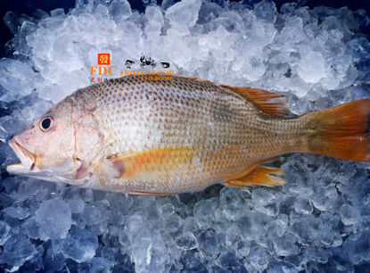 Picture of SIAKAP EMAS  <br> 红皂魚 <br>(1PCS/ 550g )